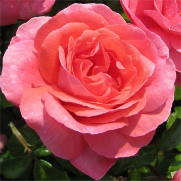 Rose Special Anniversary