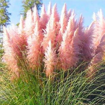 Giant PINK Pampas Grass - Cortaderia selloana rosea - Pack of THREE Plants