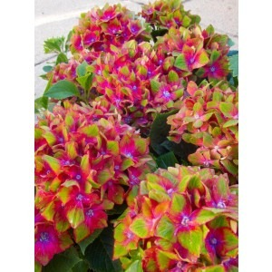 SPECIAL DEAL - Hydrangea Glam Rock - Pack of THREE Plants
