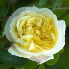 Rose Celine Forestier - Climbing Rose