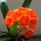Large Clivia Plant in Bud & Bursting in to Flower with Heavy Bronze ceramic