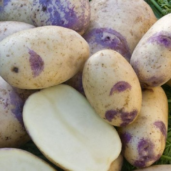 Blue Belle - Maincrop Seed Potatoes - Pack of 10
