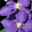 Clematis Lasurstern - Summer Flowering Clematis