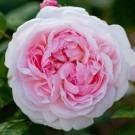 Rose Eglantyne ® - David Austin ® Shrub Rose