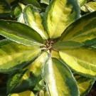 Elaeagnus x ebbingei Limelight - Oleaster