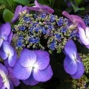 Hydrangea Blueberry Cheesecake