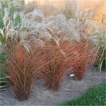 Miscanthus sinensis Graziella - Silver Grass