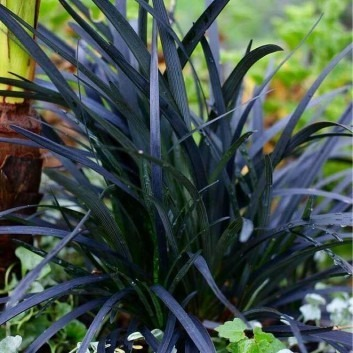 Ophiopogon planiscapus Nigrascens - Black Ornamental Grass
