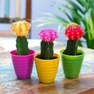Moon Cactus Collection - THREE different colours in bright Pots