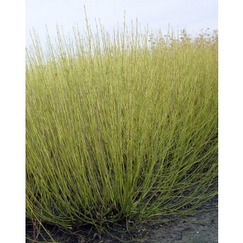 Colourful Cornus Dogwood Collection - Stunning Winter Colour - Pack of THREE Beautiful Plants