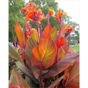 Canna Durban - Amazing Multicolour Foliage Canna Plant - Pack of THREE Plants