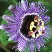 Passion Flower Purple Rain - Passiflora
