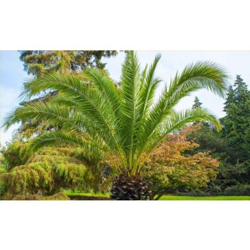Pair of Stylish Canary Island Date Palms with Planters