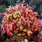 SPECIAL DEAL - Nandina domestica Firepower - Sacred or Heavenly bamboo - Pack of THREE Plants