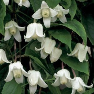 Clematis Winter Beauty - Evergreen, Hardy, Winter blooming climber - Flowers December to late March