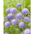 Scabiosa columbaria Blue Note - Butterfly Blue Pincushion Flower Scabious