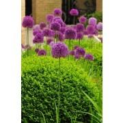 Allium hollanicum Purple Sensation - Pack of THREE Plants
