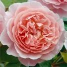 Rose Strawberry Hill ® - David Austin ® Shrub Rose
