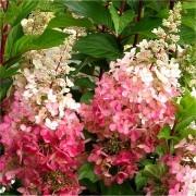 Hydrangea paniculata Pinky Winky - EXTRA LARGE Flowering Plant