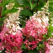 Hydrangea paniculata Pinky Winky - EXTRA LARGE Flowering Plant