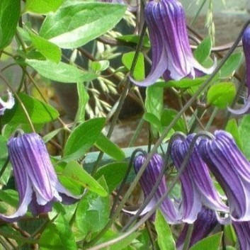 Clematis Rooguchi - Early Summer Flowering Clematis