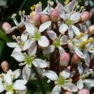 Skimmia japonica Snow White