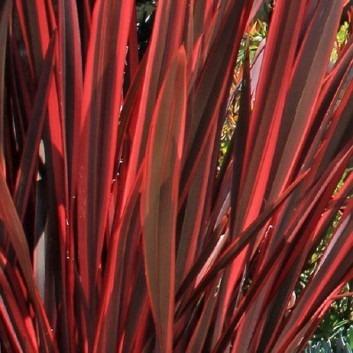 Phormium Firebird - New Zealand Flax
