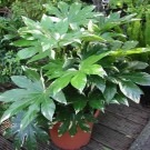 Fatsia japonica variegata -Variegated Japanese Aralia - Pack of THREE Plants