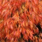 Acer palmatum dissectum Orangeola