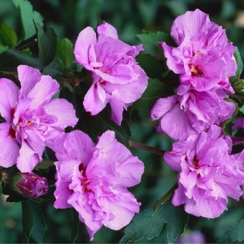 Pair of Patio Standard Hibiscus Trees - Cotton Candy - Double Pink