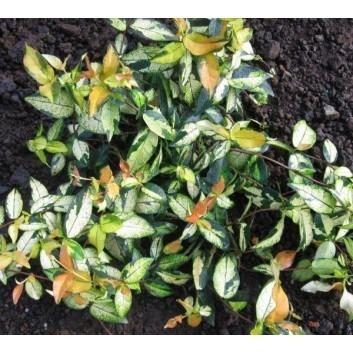 Trachelospermum asiaticum Ogon Nishiki - Star Jasmine