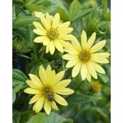 Helianthus Lemon Queen - Perennial Sunflower