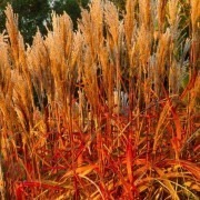 Miscanthus Graziella 'Indian Summer' - Pack of THREE Amazing Autumnal Colour Grasses