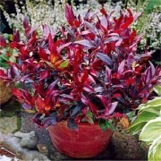 Leucothoe Zeblid - Pack of THREE Scarletta Plants Perfect for Patio Planters