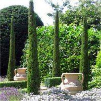Pair of Van Gogh Tuscan Totem Pole Cypress Trees - Cupressus sempervirens 60-80cm