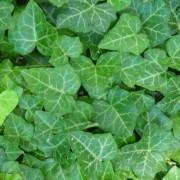 Hedera helix - English Ivy