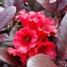 Rhododendron Everred - Red Evergreen Rhododendron