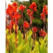 Canna Pretoria - Amazing Multicolour Foliage Bengal Tiger Canna - Pack of THREE Plants