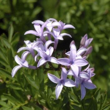 Syringa Laciniata - Persian Lilac