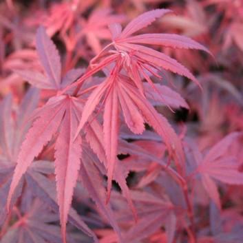 Acer palmatum Shaina - Japanese Maple