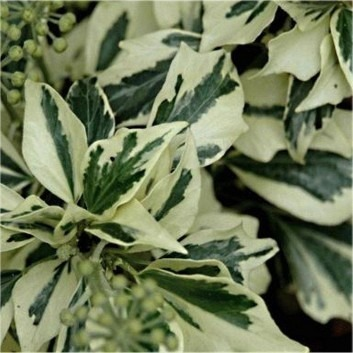 SPECIAL DEAL - Hedera helix Ice Cream - Pack of THREE Plants