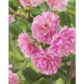 Rose Cornelia - Shrub Rose