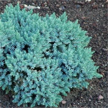 Juniperus squamata 'Blue Star'  - Dwarf Slow Growing Conifer