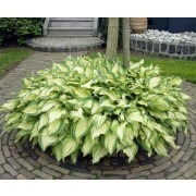 Hosta fortunei albopicta