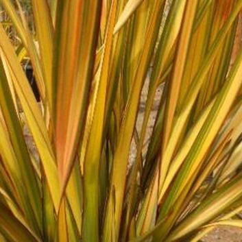 Phormium Apricot Queen - New Zealand Flax