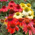 BULK PACK - Echinacea Cheyenne Spirit - Pack of FIFTEEN Coneflower Plants in Amazing Colours