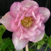 Helleborus orientalis Phoebe - Hellebore