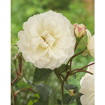 Rose Prosperity - Hybrid Musk Shrub Rose