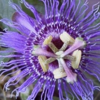Passion Flower Incense (Imperatrice de Eugenie) - Passiflora