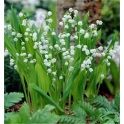Fragrant Lily of the Valley - Convallaria majalis - Pack of THREE Plants in Bud